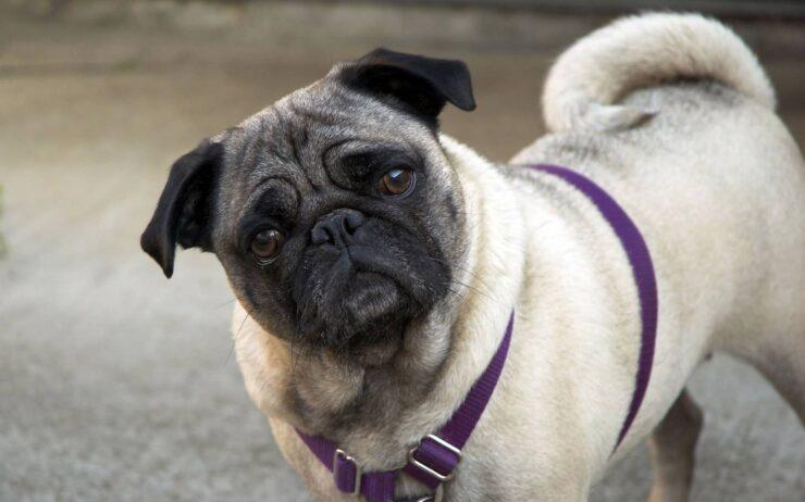 Порода собак Мопс