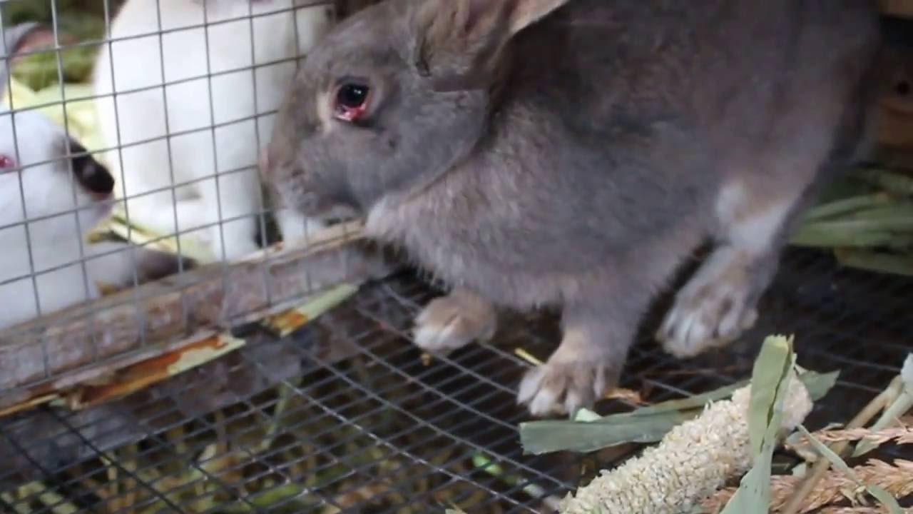 Миксоматоз и геморрагическая болезнь кролей