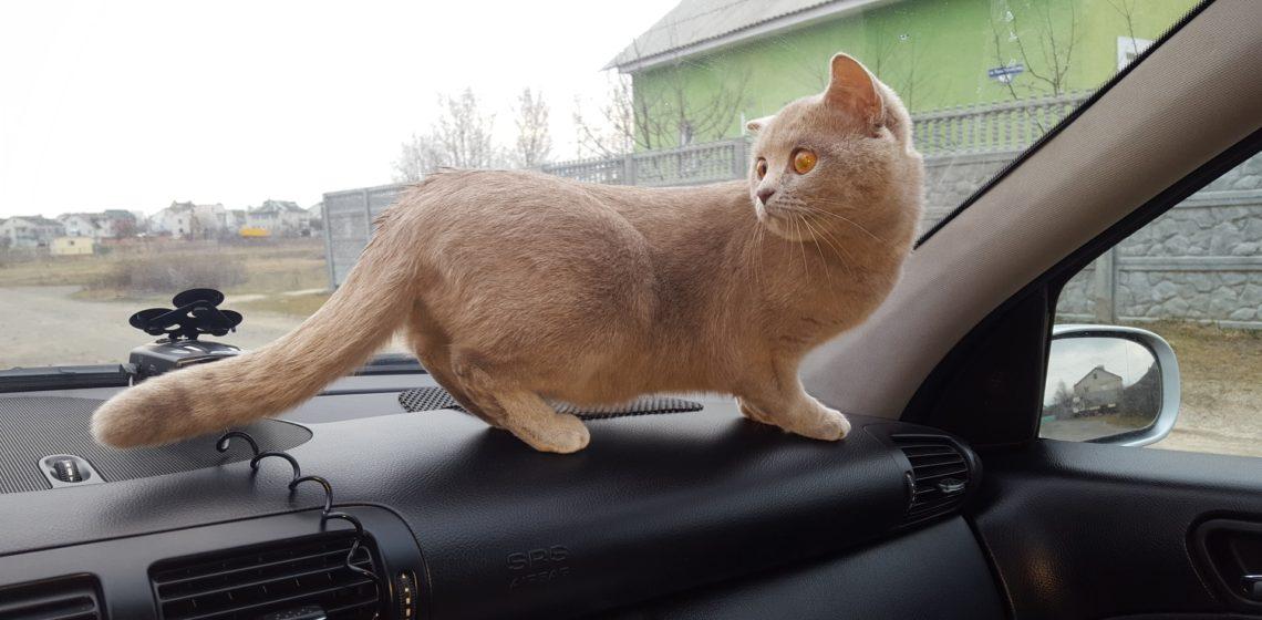 Поездка с котом