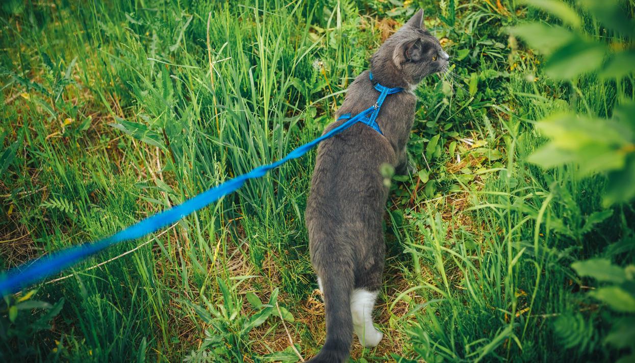 Как приучить кошку к поводку или шлейке