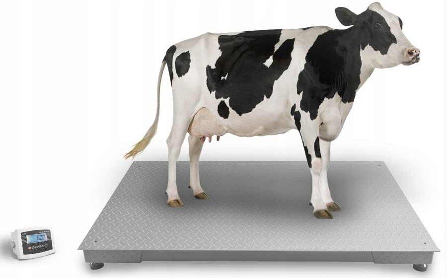 Как узнать сколько весит корова